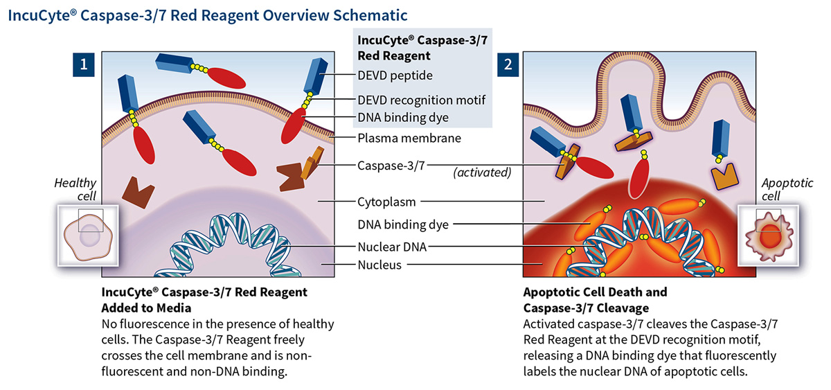 caspase 3-7 red apoptosis schematic