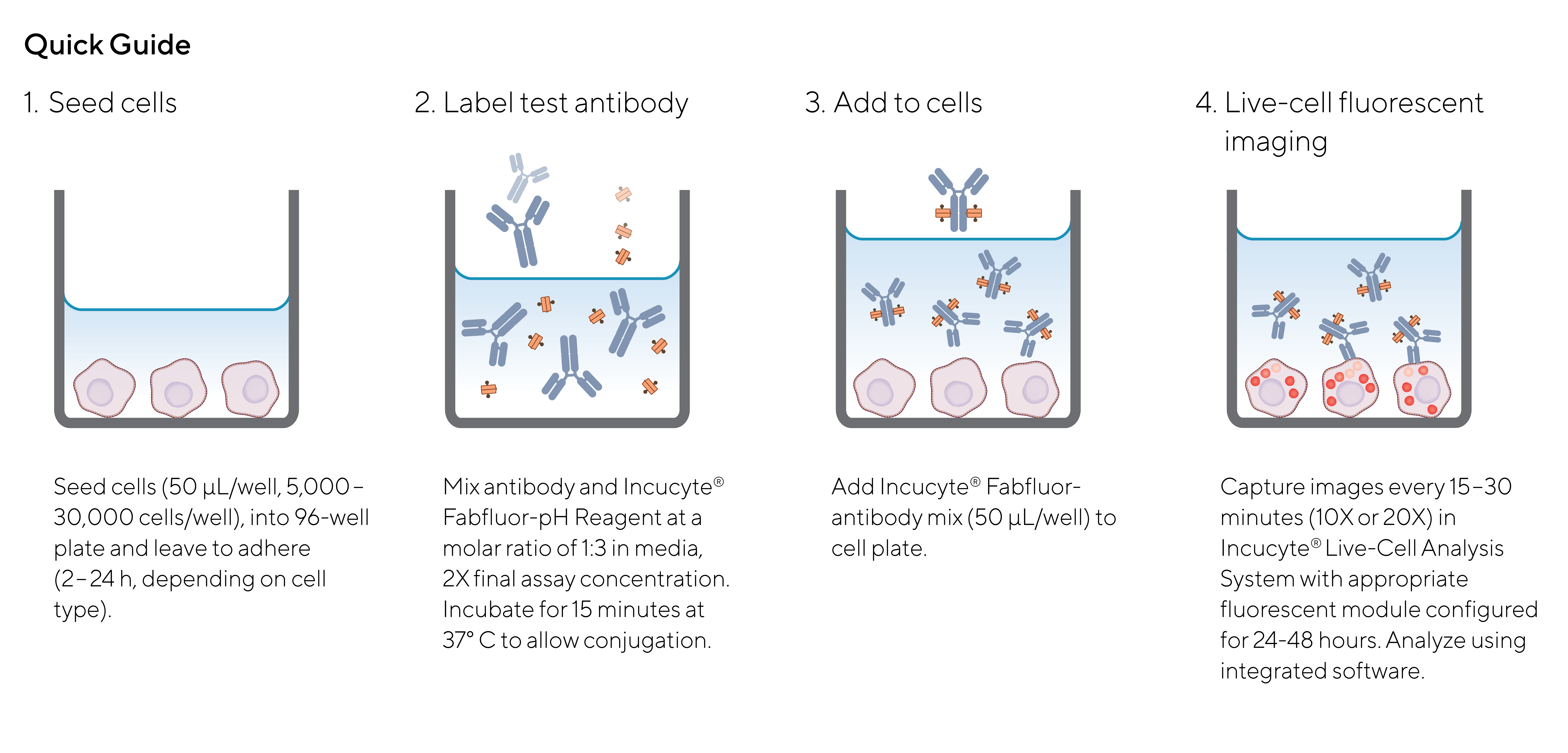 Antibody Internalization - Quick guide