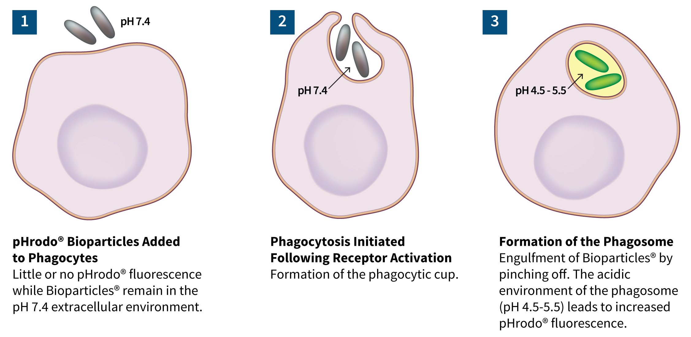 Phagocytosis of bacterial or yeast bioparticles by macrophages