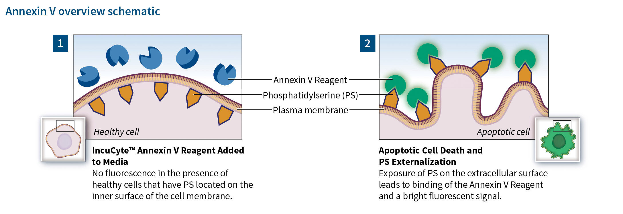 IncuCyte® Annexin V Reagents