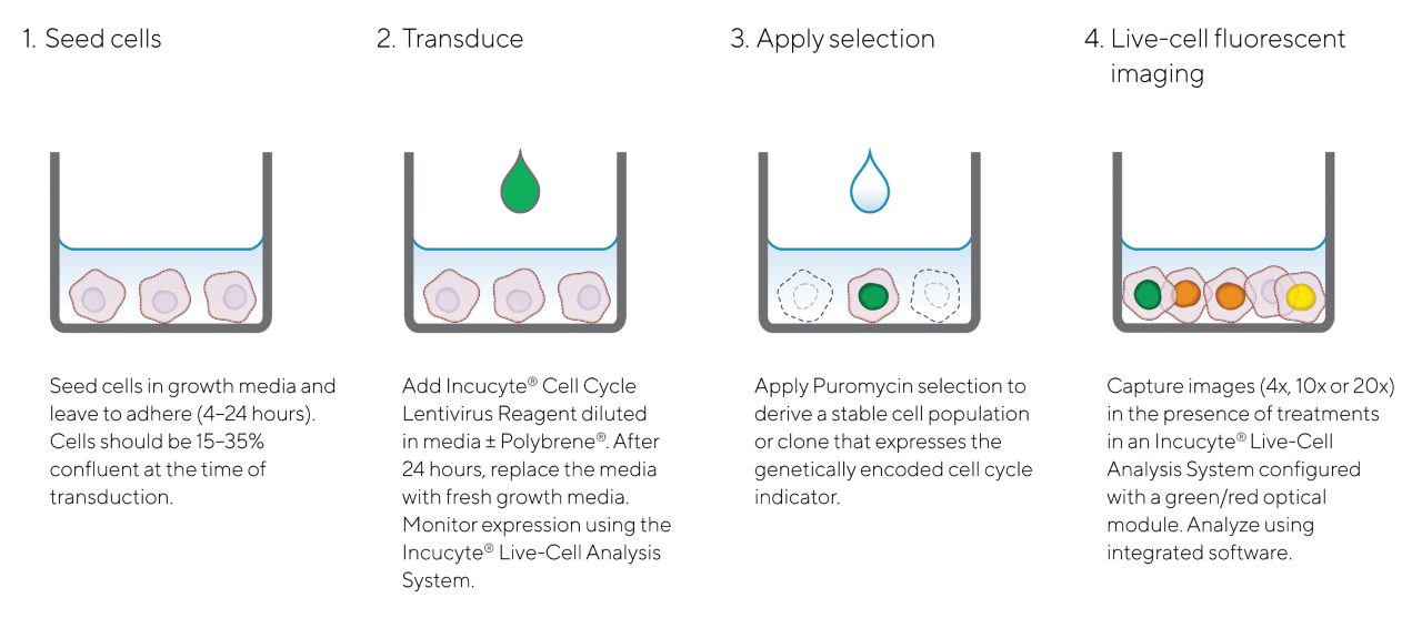 Cell Cycle Quick Guide