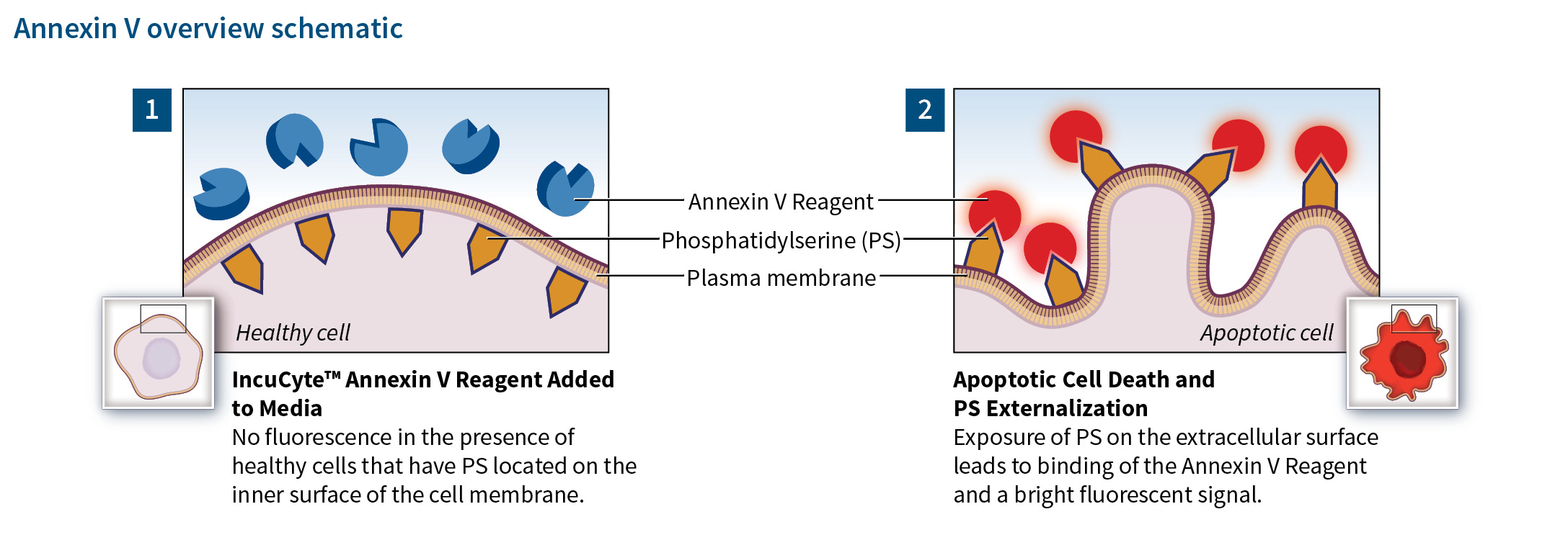 IncuCyte Annexin V Reagents
