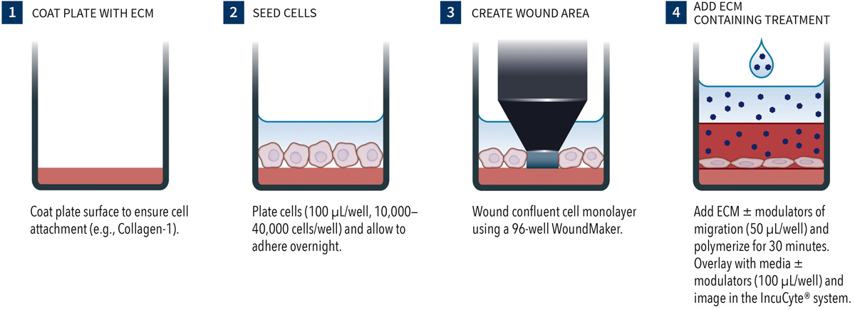 Scratch Wound Cell Migration Invasion on Number Formation