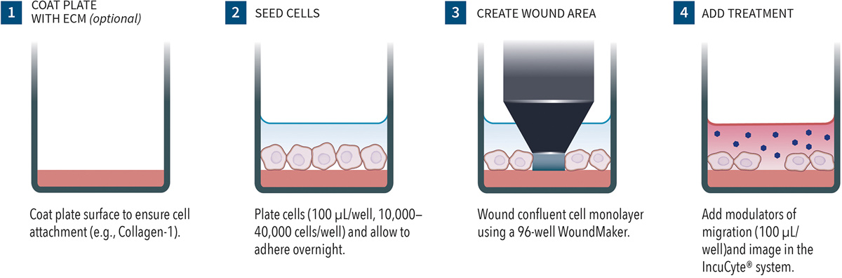 scratch wound cell migration quick guide