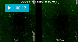 MYC overexpession in U2OS cells stops the circadian clock